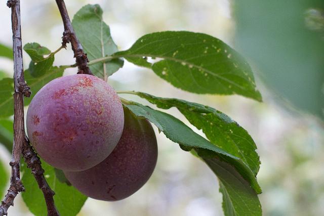 какие фрукты в июле в крыму 2015